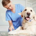 Kennel Cough Prevention Tips Header Image golden retriever dog with vet technician